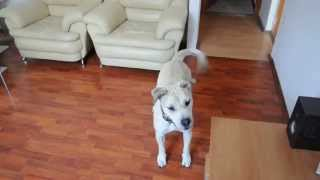 Ca de bou funny videos.Funny dog videos 2015 try not to laugh.Dog funny video funniest ever.
