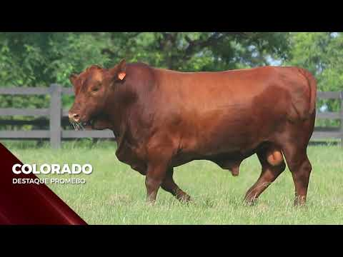 Touro Colorado - Red Brangus indicado para IATF - RENASCER BIOTECNOLOGIA VIDEO