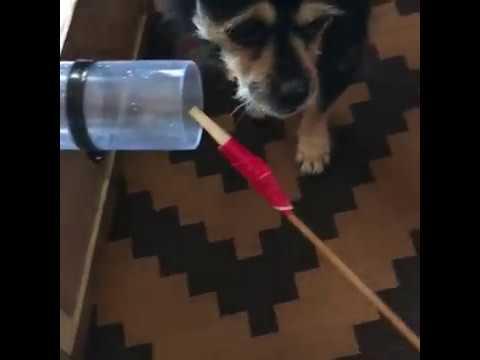 Unusual Dog Training : Tool Use