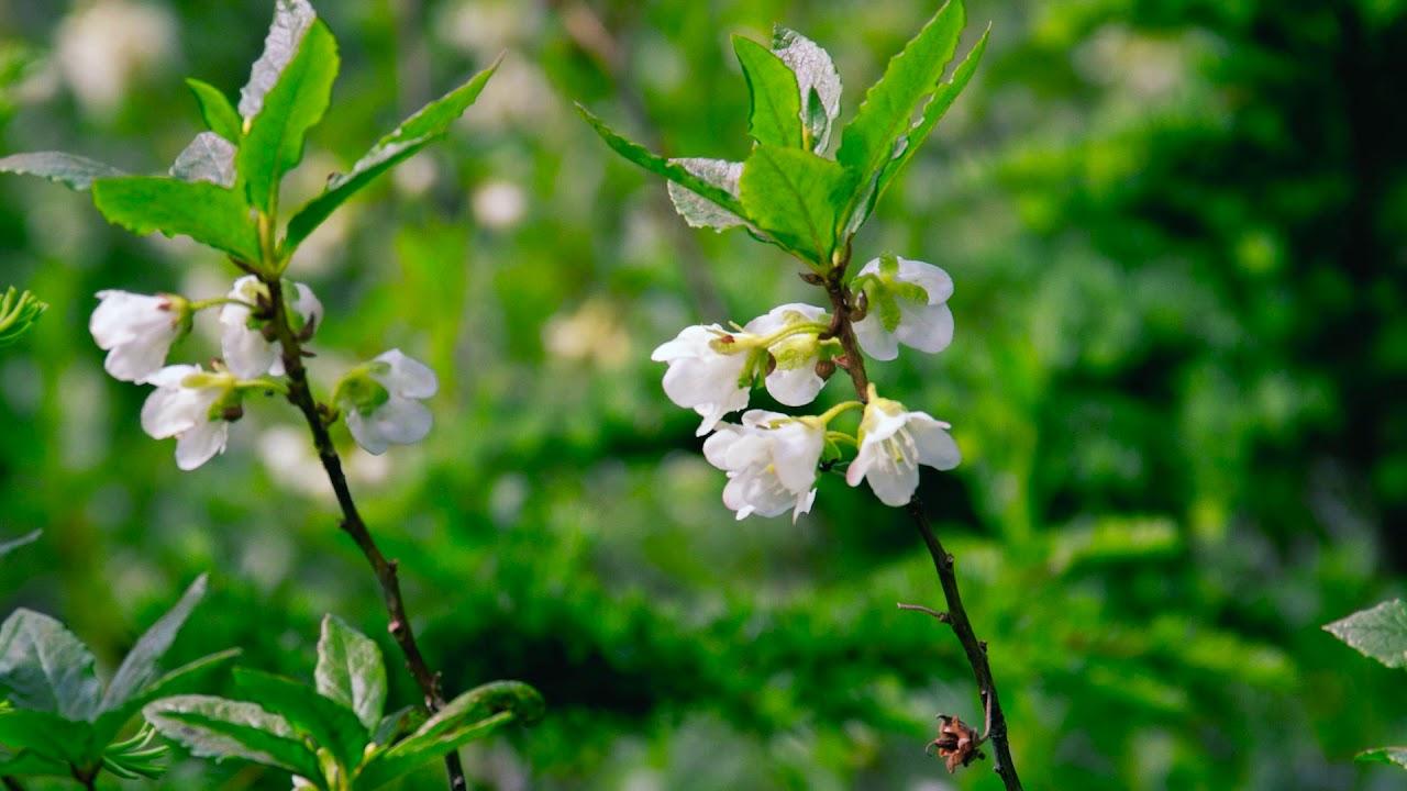 White Flowered Rhododendron Rhododendron Albiflorum