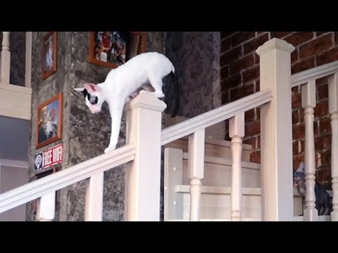 Cornish Rex cat loves to walk on the railing