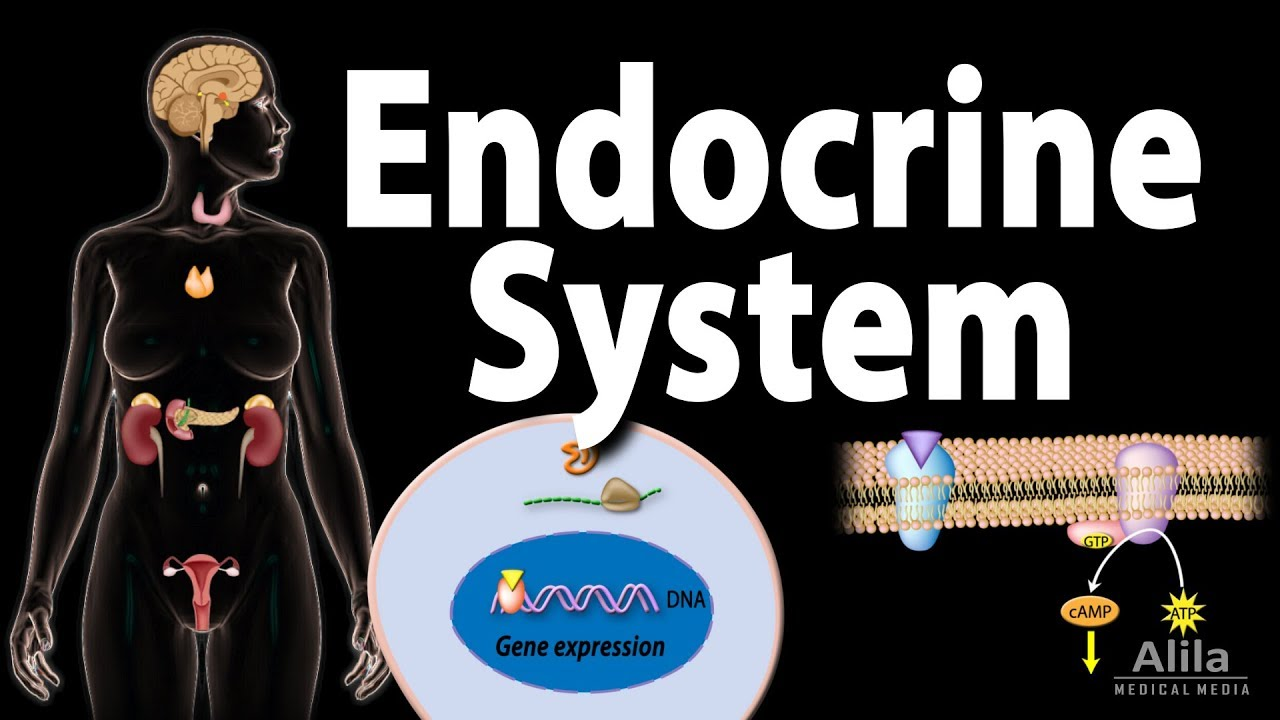 The Endocrine System Overview Animation Youtube