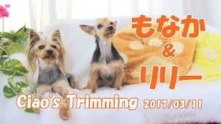 【ヨークシャーテリア専門犬舎チャオカーネ】 もなか&リリーがトリミン...