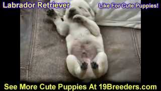 Labrador Retriever, Puppies, For, Sale, In, Des Moines, Iowa, Ia, Bettendorf, Marion, Cedar Falls, U