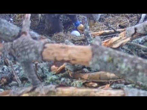 Baron Blå ruller på egget