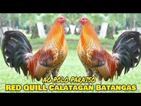 Nice Red Quill Dan Gray Roundhead AG POLO PARAISO