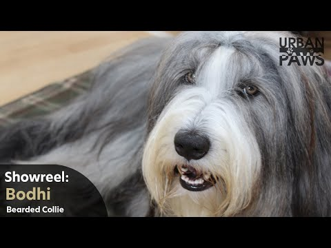 Bodhi - Bearded Collie Shake on Command