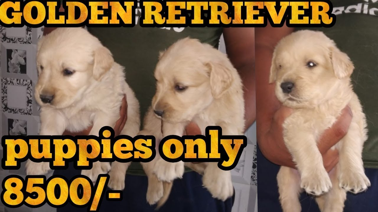 Golden Retriever Puppy For Sale Youtube