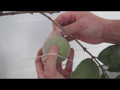 GROW  TROPICAL GUAVA TREE