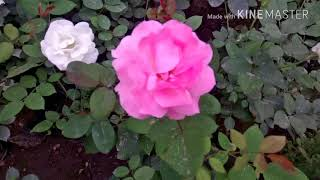 Difference between English and Desi rose. |🌹 roses basic difference.