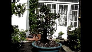 Imported large Ficus repotted