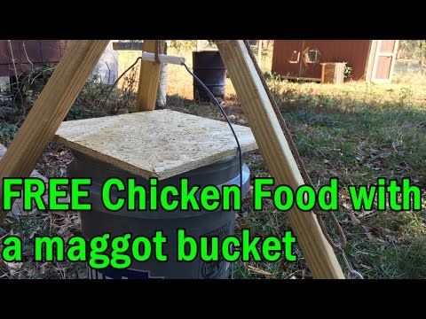 Free Chicken Food With A Maggot Bucket Youtube