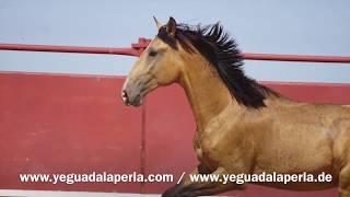 Leñador, Lusitano *2015 for sale