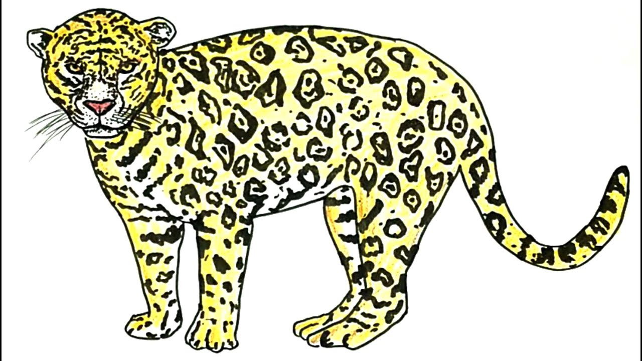 how to draw a jaguar animal youtube