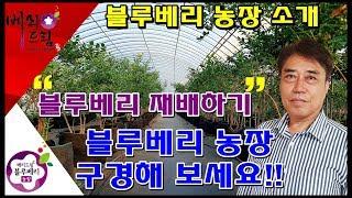 블루베리재배방법,블루베리농장, 국내산블루베리,블루베리,…