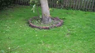 13.09.17 Sturmtief Sebastian an der Nordsee: Der bebende (lebende) Baum..