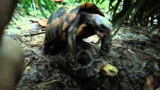 Секс черепах. Супер прикол. Funny Sex turtles