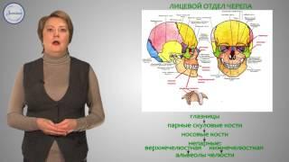 Биология 8 Скелет головы и туловища