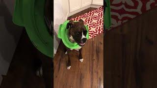 Boxer Gets Head Stuck in Child's Toilet Seat || ViralHog