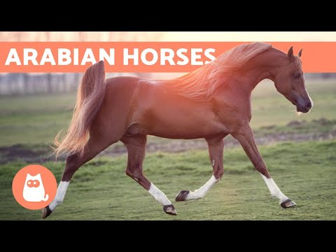 Arabian Horse - Origin, Characteristics and Temperament