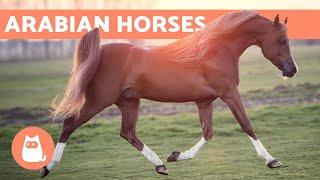 Arabian Horse - Origin, Charactęristics and Temperament