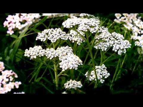 Лечебные травы от поноса -