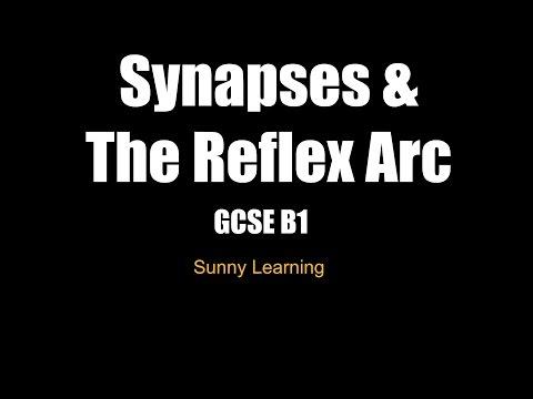Synapses & The Reflex Arc - AQA Biology