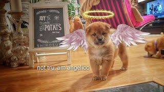 demonicc-kenzo-actibated-shiba-inu-puppies-with-captions