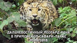 ДАЛЬНЕВОСТОЧНЫЙ ЛЕОПАРД РОНА В ПРИМОРСКОМ САФАРИ-ПАРКЕ 05.09.2018