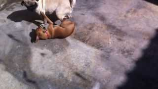 Pug Vs Chihuahua A Muerte !!