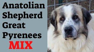 Anatolian Shepherd/Great Pyrenees mix lifespan (The Anatolian Pyrenees)
