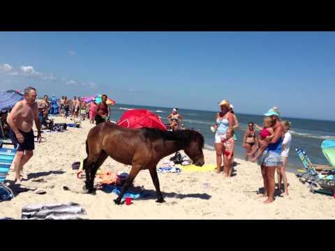Assateague Island Maryland Wild Horses and Ponies Terrorizing Tourists