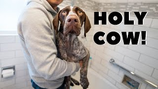 Rolled in Cow POOP!   German Shorthaired Pointer & Labrador Retriever