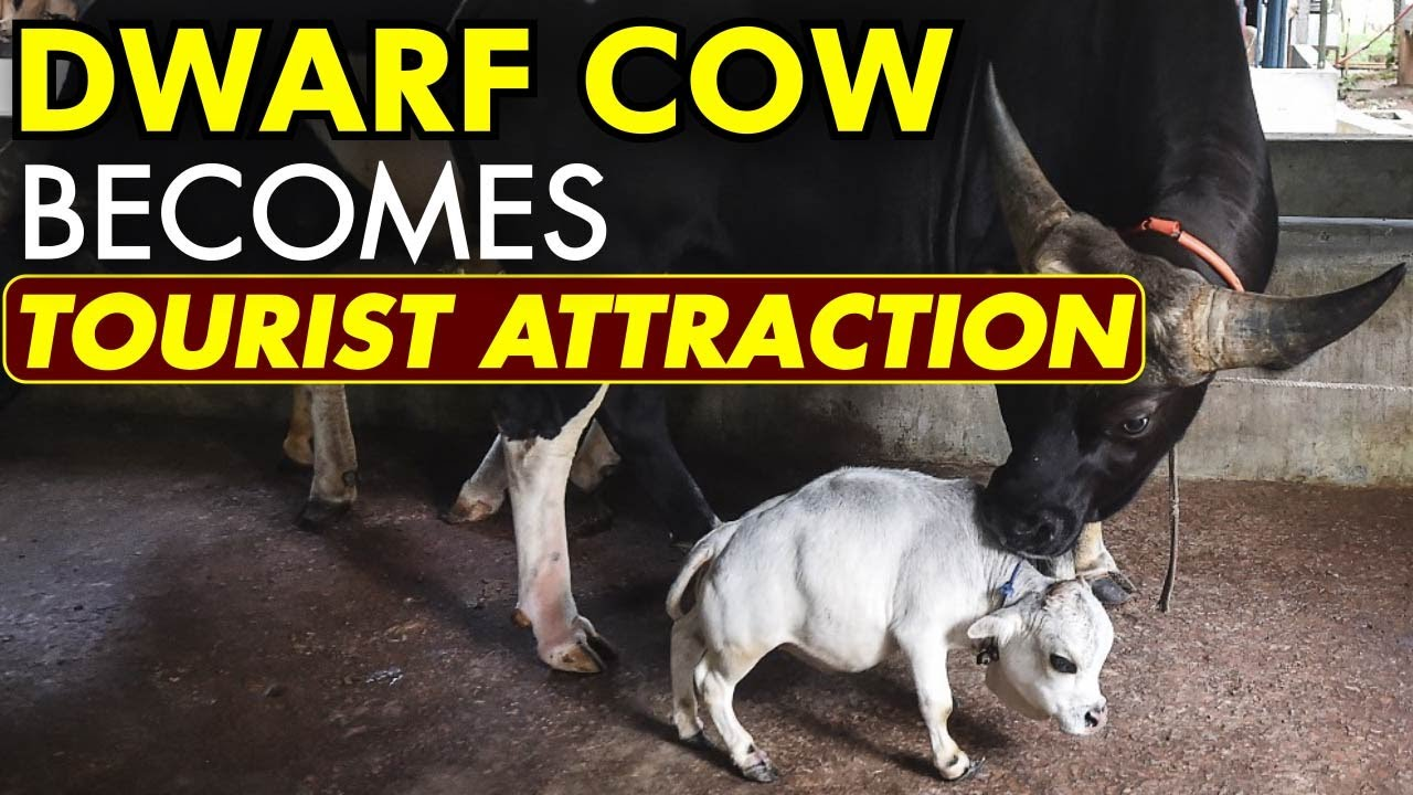 Thousands flock to see dwarf cow in Bangladesh