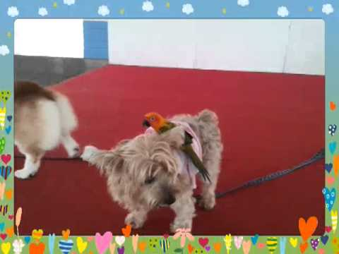 Sun Conure Lucky, Corgi Reiji and Terrier Happi 4