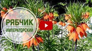 видео Рябчики: посадка и уход, цветы на фото и в ландшафтном дизайне