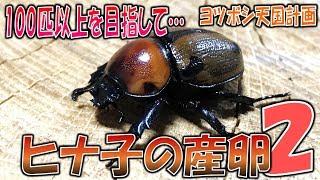 昆虫採集☆クワガタ&カブトムシ ヒナ子の産卵 ヨツボシヒナカブト100匹...