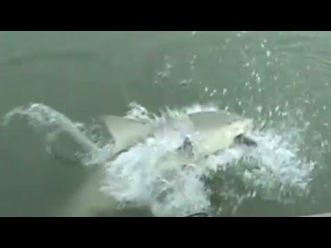 Shark Surprises Fisher At Myrtle Beach