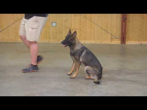 WOW!! Beautiful Sable German Shepherd 'Zach' Super Dog Obedience Trained Super Dog For Sale