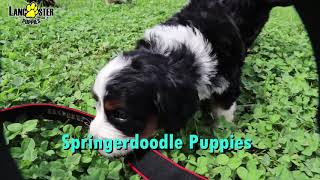 Springerdoodle Puppies