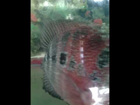 For Sale Flowerhorn Chinese Character