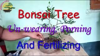 "Bonsai Tree Un-wearing, Porning And Fertilizing.  ""Aponbhoban Bonsai"""