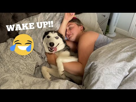Hilarious Husky Puppy Wakes Mum Up In The Funniest Way!! [TRY NOT TO LAUGH!]