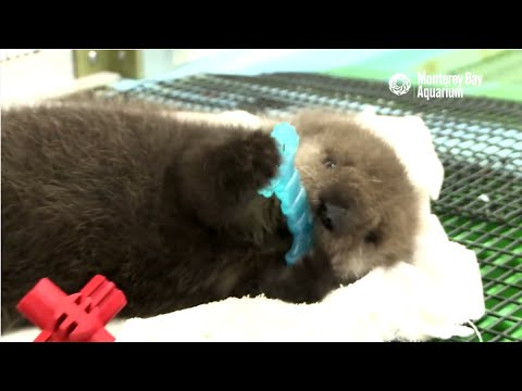 Saving Sea Otter 696: Getting Stronger