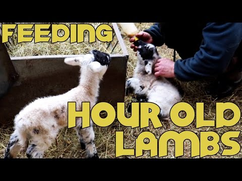 Bottle Feeding Baby Lambs Just One Hour Old! Very Cute. (How To)