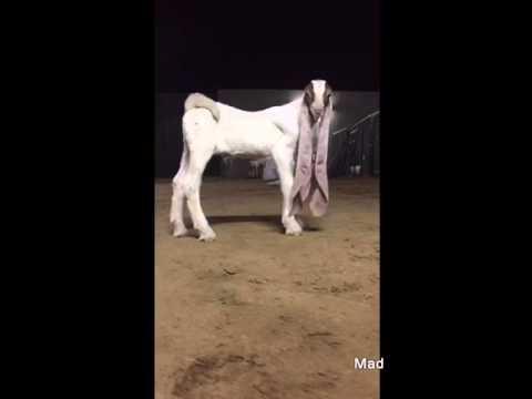 beautifull long hears Goat mustwatch