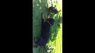 Dobermann Benz And Mini Pinscher Hummer Fighting Part I