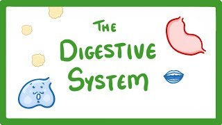 GCSE Biology - Digestive System #13