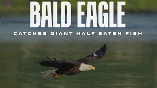 Bald Eagle Catches Half Eaten Fish