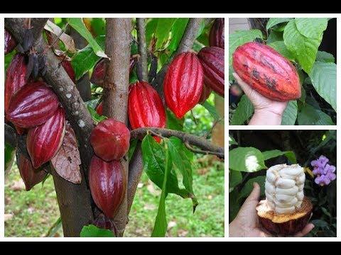🔴 PRONTOS PARA PLANTAR UMA ÁRVORE DE CACAU E FAZER SEU PRÓPRIO CHOCOLATE? Hum… Que delícia!😋🌱 🍫 🍫